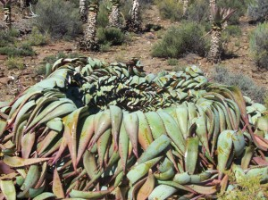 7alo prosses The pile of Aloe Ferox leaves left to drain the bitters sap